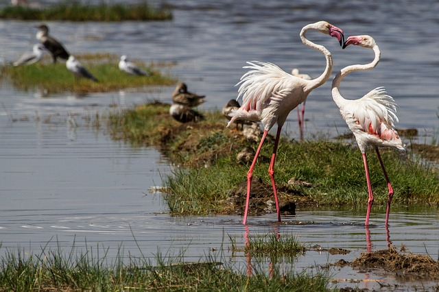 flamingos lake nakuru national park