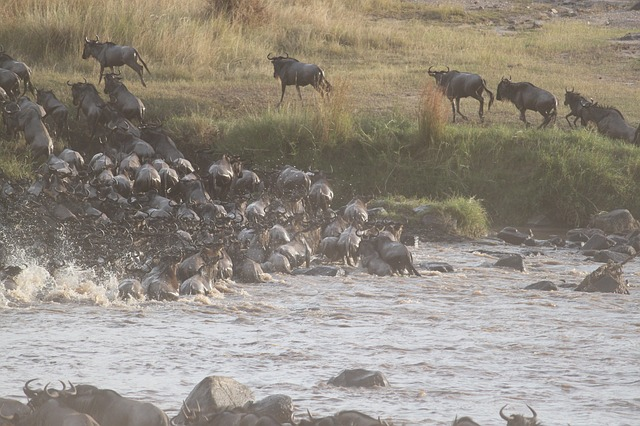 wildbeest migration maasai mara national reserve