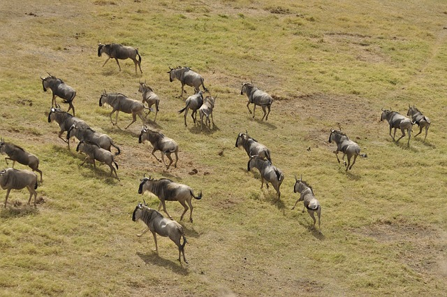wildebeest-migration-3995945_640